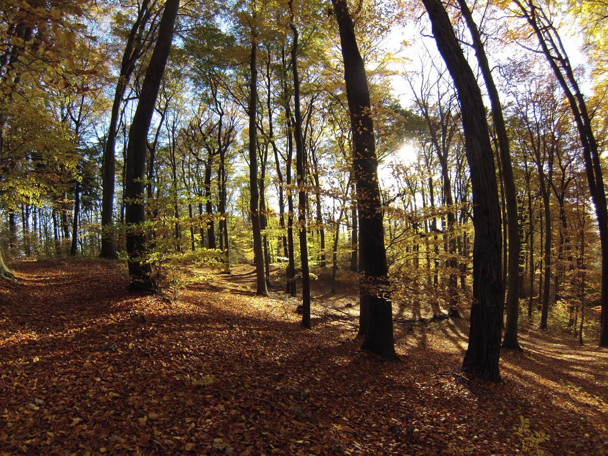 Las Bukowy w Skarszynie